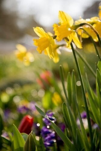 Close-up photo of bright yellow daffodils, red tulips and purple hyacinths